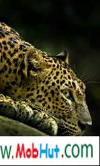 Wild leopard live wallpaper