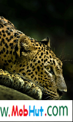 Wild leopard live wallpaper